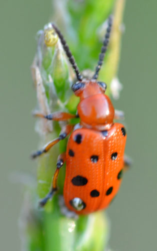 TOM BUTZLER/FOR THE EXPRESS Spotted asparagus beetles are orange with six black spots on each wing cover.