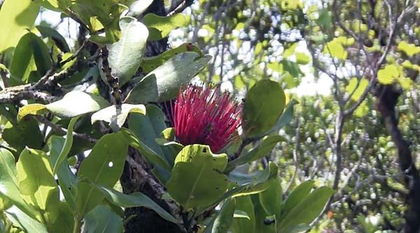 Hawaii agriculture officials are recommending that the quarantine on ohia trees be made permanent to help prevent the spread of a deadly fungus. The proposal would require permitting and testing of trees prior to shipment to contain the disease to the Big Island.  DLNR photo