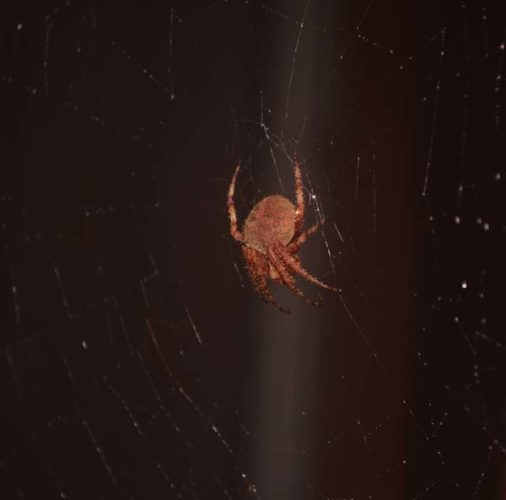 A spotted orb weaver is shown in its web Upcountry. It is one of approximately 205 species of spiders in Hawaii, of which an estimated 77 species have been introduced by people accidentally or unknowingly over the last few hundred years.   Maui Invasive Species Committee photo
