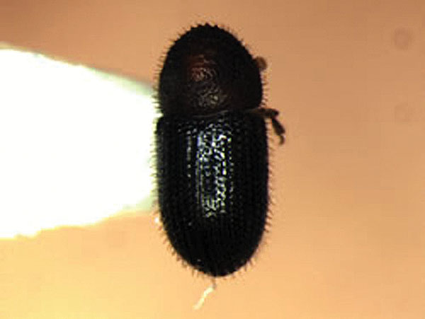 This is a photo of an adult coffee berry borer found on Maui. University of Hawaii College of Tropical Agriculture and Human Resources photo