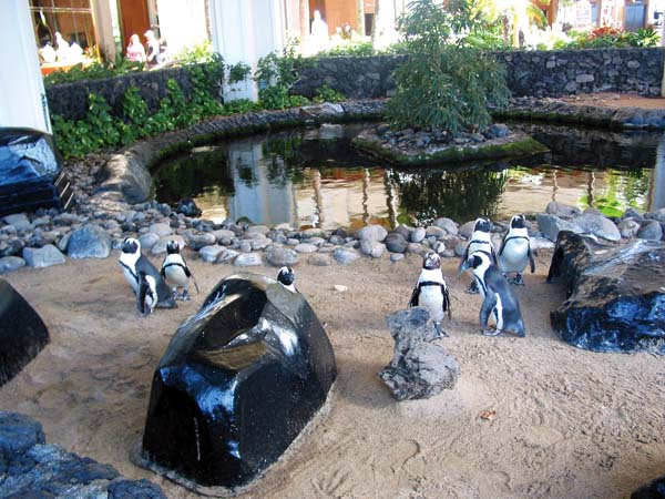 This waddle of seven African Black-Footed Penguins will be the star of the show at 9:30 a.m. Friday at the Penguin Awareness Day at Hyatt Regency Maui Resort & Spa in Kaanapali. The Maui News / CARLA TRACY photo