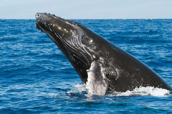 A whale rises out of the water.  Photo taken under National Marine Fisheries Service permits, by Flip Nicklin