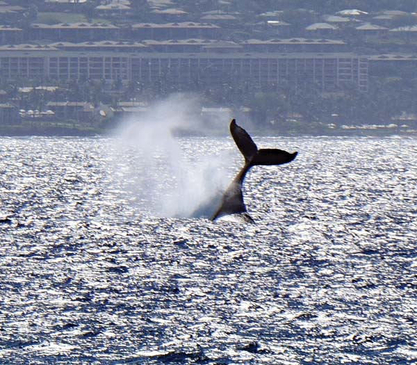 A humpback whale slaps its tail Tuesday morning in waters off Maui.  The Maui News / MATTHEW THAYER photo
