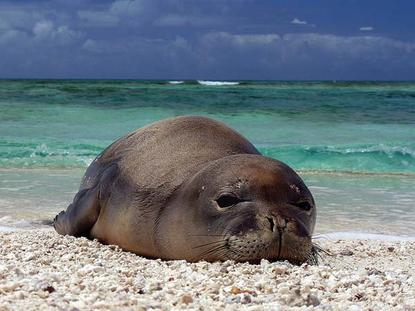 Even marine mammals can become infected with toxoplasmosis. Eight monk seals and two spinner dolphins have died over the last 15 years.   MARK SULLIVAN photo