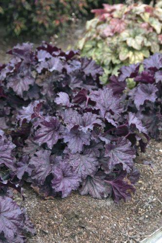 Forever Purple Heuchera paints a vivid portrait in a garden without flowers. -- Costa Farms photo via AP