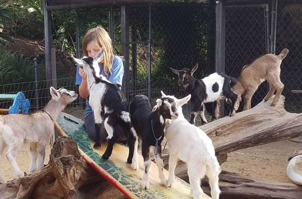 Cairo Nielsen plays with goats at Surfing Goat Dairy's farm on Omaopio Road in Kula. Surfing Goat Dairy is offering five weeklong summer day camp sessions for children entering grades 2 to 5. -- ELISE NIELSEN photo