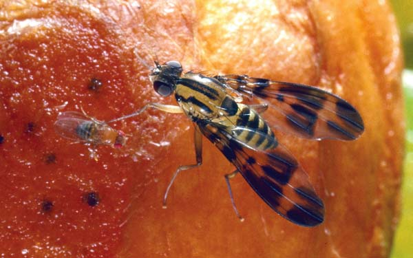 The Hawaii drosophila, or fruit flies (right), can be as much as 10 times the size of a cosmopolitan species found around the world, such as the drosophila melanogaster (left). The more common fruit files deposit larvae in fruit but in the Hawaiian rainforest, such as in the Kipahulu Valley, there is no large fruit. The Hawaii drosophila lay their eggs on plants or rotting fallen trees. They are so large, the Hawaii drosophila was observed being caught by a bird, which released it after the fly made a buzzing sound. -- Photo courtesy of Ken Kaneshiro