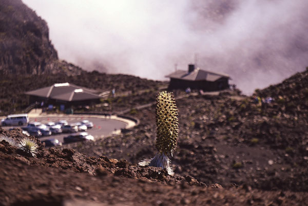 A silversword stands tall in Haleakala National Park in June. The park will see a major reduction in the number of companies allowed to operate road-based tours in the park in 2018. Polynesian Adventure Tours, Skyline Eco Adventures, Valley Isle Excursions and Haleakala Bike Co., doing business as Haleakala EcoTours, have been selected to receive 10-year contracts with the park, officials announced Tuesday. The Maui News / MATTHEW THAYER photo