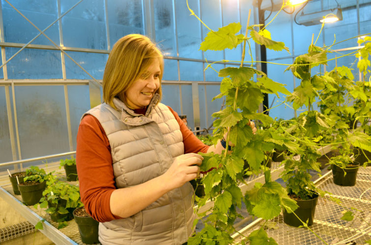 -Photo by Kriss Nelson  Diana Cochran, an ISU Extension fruit specialist, looks at some hops plants she has growing in a greenhouse on the ISU campus. Currently, Cochran has an acre of hops in research.