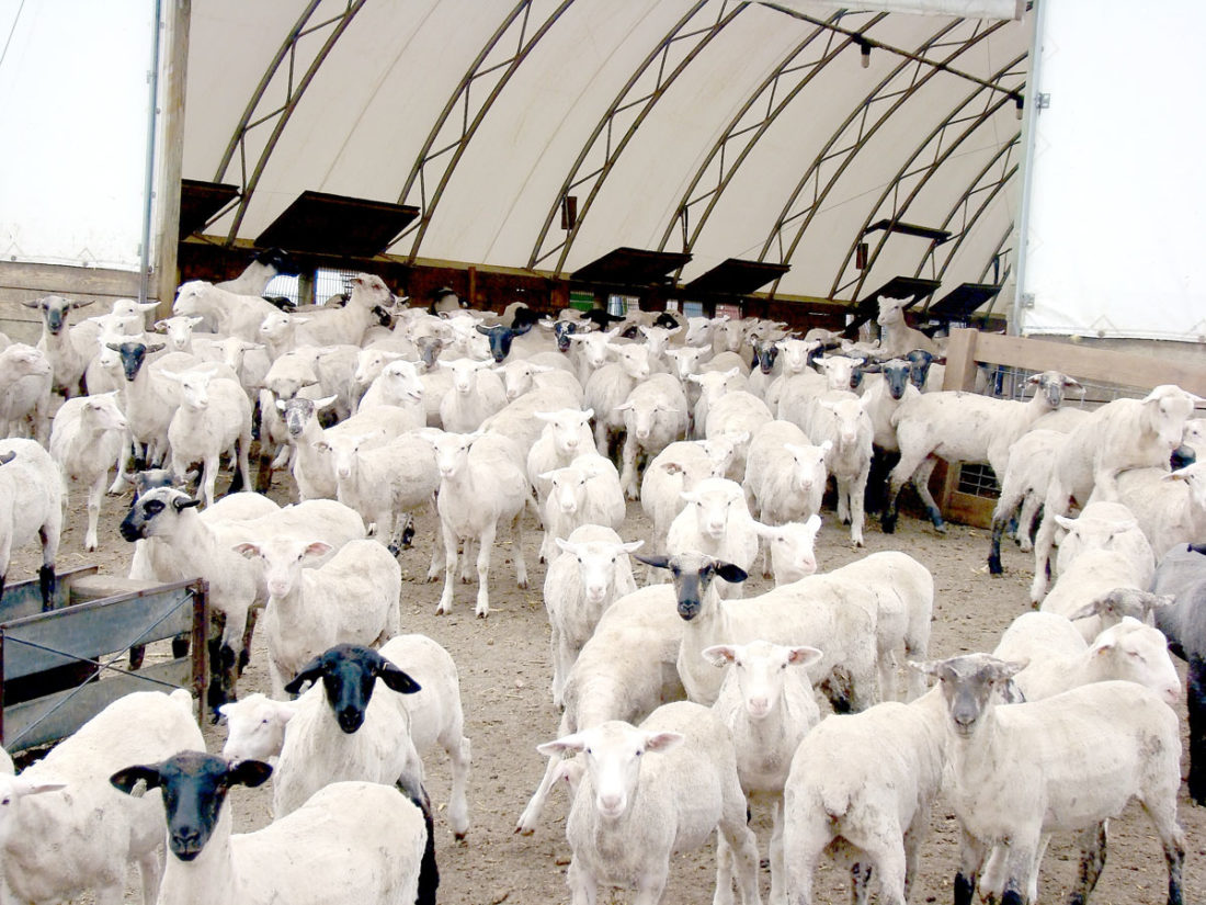 -File photo  The outlook for the lamb market is strong, despite large import numbers. There are no reports of over-sized lambs to over-burden he supply pipeline.