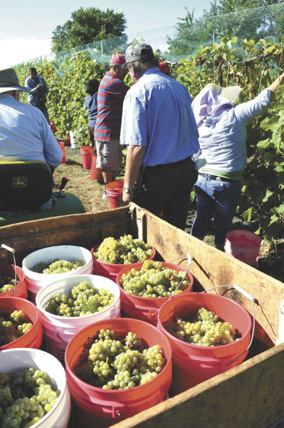 -Photo by Dawn Bliss  At Soldier Creek Winery, visitors harvest grapes.