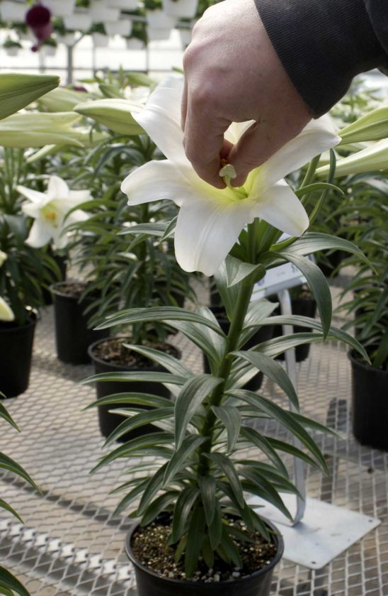 -Messenger photo by Dawn BlissReaching in and pinching off the yellow pollen anthers in an Easter lily will delay the flower's cycle, causing the lily to hold its bloom longer, said Rick Lamoureux, greenhouse manager for Smitty's Lawn, Landscape and Garden.