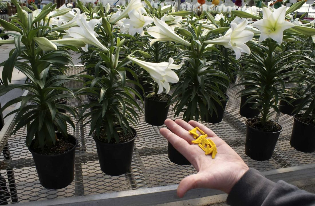 -Messenger photo by Dawn BlissRemoving the yellow pollen anthers from inside Easter lily blooms will cause the flower to hold its bloom longer, said Rick Lamoureux, greenhouse manager for Smitty's Lawn, Landscape, and Garden.