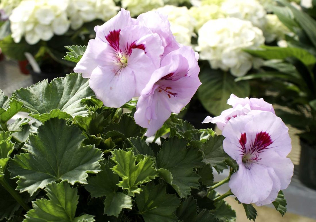 -Messenger photo by Dawn BlissMartha Washington geraniums are a colorful alternative to the traditional Easter lily, said Rick Lamoureux, greenhouse manager for Smity's Lawn, Landscape and Garden.