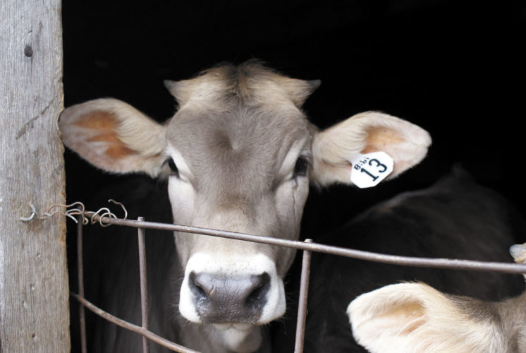 -Messenger photo by Dawn Bliss Bibi, a young brown Swiss heifer, looks out of the barn at the fields beyond. She is part of the grass-fed herd at Lost Lake Farm used to make milk for artisan cheese.