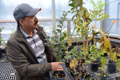 Kurt Hauglie/Daily Mining Gazette Dr. Ramesh ThaKur looks over some of the young specimens of the Chinese elm, which is the subject of a research project he's conducting at Michigan Technological University to determine why the tree is so rugged.