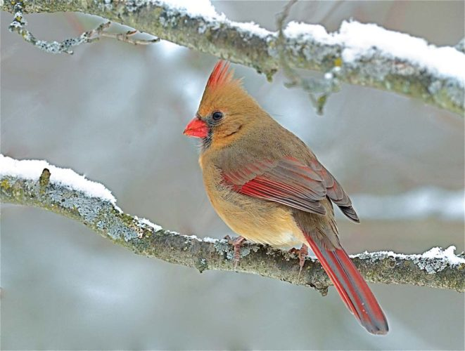 A female northern cardinal. (Scot Stewart photo)