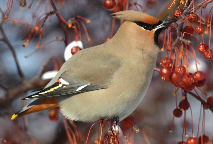 A Bohemian waxwing nibbles on berries. (Scot Stewart photo)