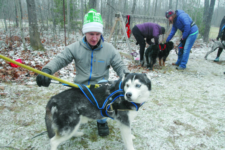 Stephen Andreae, a member of the Noquemanon Skijor Club, fits a harness on Opie, a Siberian husky whose owner took part in the club's Sunday demonstration at the Noquemanon Trail Network Forestville trailhead. The sport involves people on skis being pulled by various means, including dogs. (Journal photo by Christie Bleck)