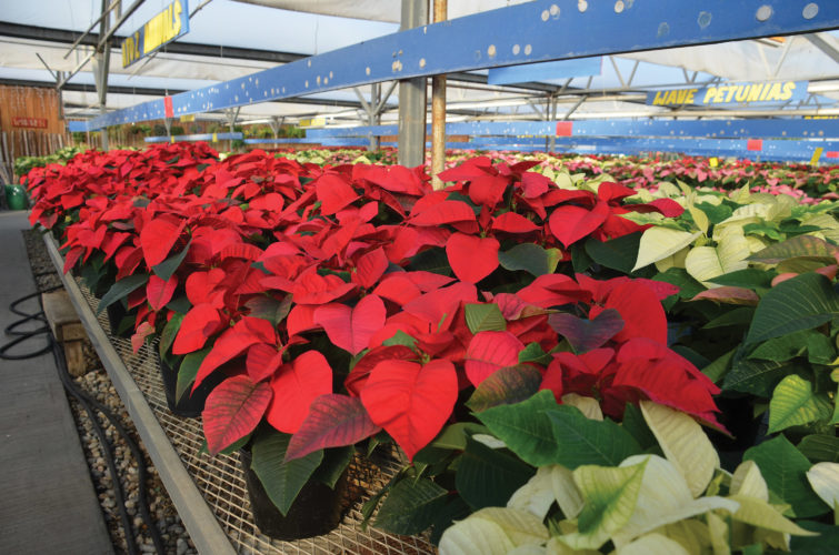 "Eloise Ogden/MDN ""The actual part of the poinsettia that is toxic is the little tiny flowers in the center of the leaf clusters. The actual red and green leaves are not poisonous,"" said James Lowe of Lowe's Floral in Minot. Poinsettias can be kept around children and animals with some precautions."