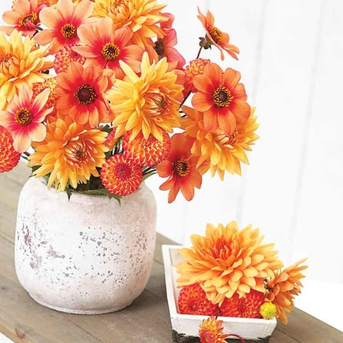 Submitted Photo  Attractive mixes of dahlias look stunning in the garden and combine nicely in cut floral arrangements, shown in these photos from Longfield-Gardens.com