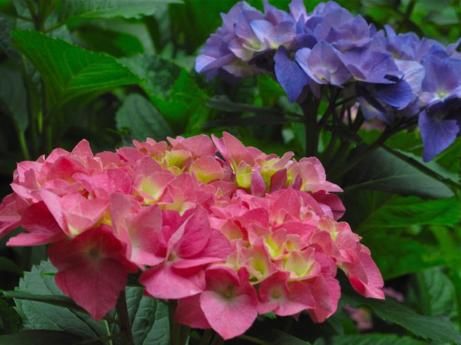 This June 6, 2010 photo taken in New Market, Va., shows hydrangea blooming red and blue on the same bush. Hydrangea are coarse-textured plants that draw the eye because of their contrasts in shape or appearance. (Dean Fosdick via AP)