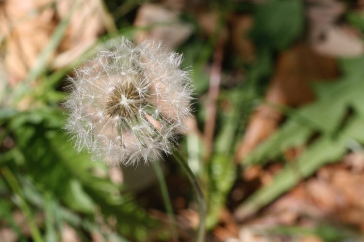This May 12, 2008 photo shows the fluffy white ball of a mature dandelion taken near New Market, Va., and shows the seeds ready to scatter and colonize disturbed soil. Weeds have a tendency to flower quickly, produce vast quantities of seeds and some have adaptations for travel by wind, water or animals. (Dean Fosdick via AP)