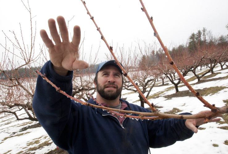 Staff photo by Don Himsel               Tyler Hardy describes the process of pruning peach trees at his Hollis farm. Certain conditions arose last year that decimated the peach crop in New England. So far this spring signs are pointing towards an improved season.