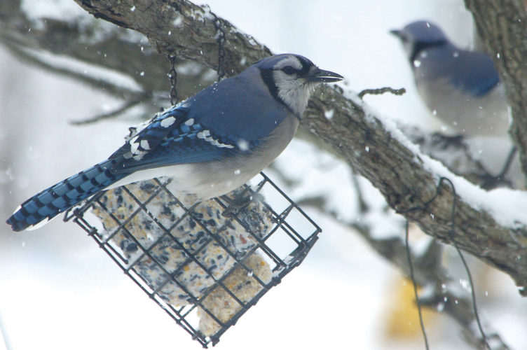 Photo by Art Smith A blue jay sits on top of a block of suet.
