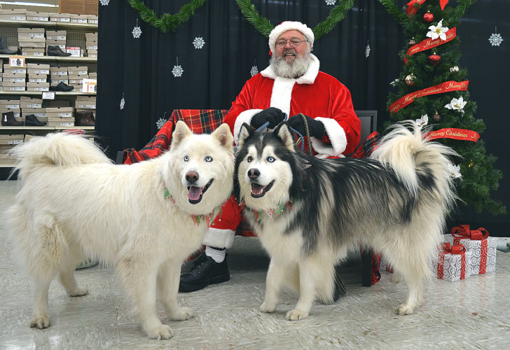 Jamie Wenninger's Wooly Huskies Blue (left) and Brutus (right) pose next to Santa at Runnings during a fundraiser for Happy Tails New Ulm Dog Park on Saturday. They look like they'd be happy to pull Santa's sleigh any time.