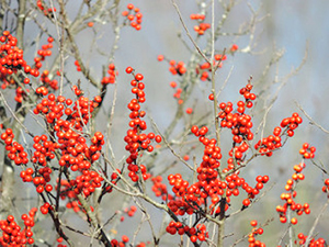 Submitted Photo by Katie Finch  Winterberry Holly is a native shrub found in wet areas but can also be a colorful addition to a garden. Only the female plants produce the attractive red berries.