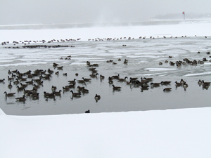 OBSERVER Photo by Gene Pauszek Ducks and geese found a little bit of open water in Dunkirk close to shore during the weekend deep freeze.
