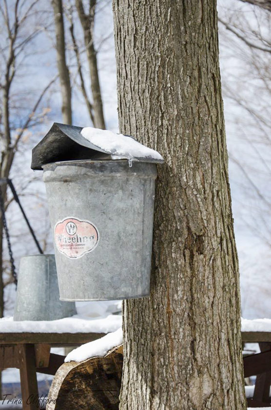 Submitted Photo. An old-style sap bucket was commonly used, but the Lesefskes have upgraded to a modern plastic tubing system that runs from the maple trees into the sugar house.
