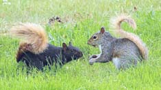 Photo by Jeff Tome. Black Squirrels are melanistic Gray Squirrels. Melanism is a condition of having more color in the fur than normal. Point Gratiot in Dunkirk has black squirrels with orange tails.