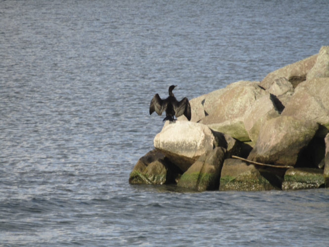 Submitted Photo Cormorants are seen a lot throughout the Great Lakes. This one was caught sunning itself.