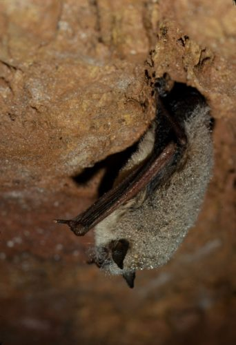 Hibernating little brown myotis (Myotis lucifugus), covered in moisture condensation in an abandoned Wisconsin mine. In the far North, these bats may have to hibernate for as long as eight months, making them especially vulnerable to white nose syndrome, a recently introduced fungus which depletes fat reserves and has caused massive mortality. Hibernation