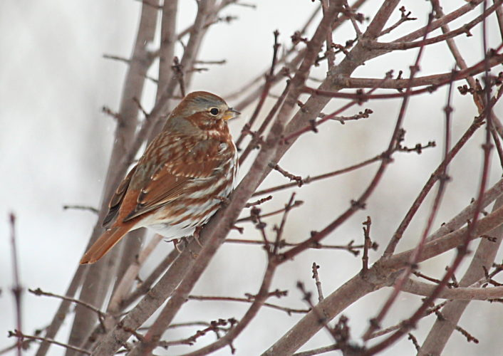 Chunky Fox Sparrows don't live here, but they migrate through in the fall and spring. Photos by Jeff Tome