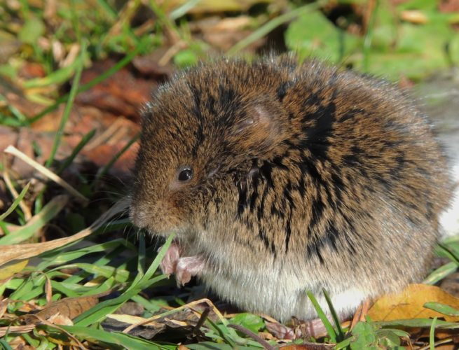 Vole scurrying through the grass.  Photo by Katie Finch