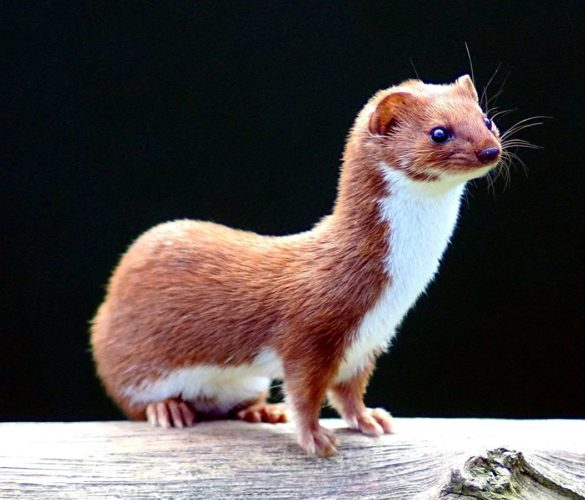 Weasels belong to the Mustelidae Family, and there are six members of this family living here in NYS. Photo courtesy of Wikipedia.org