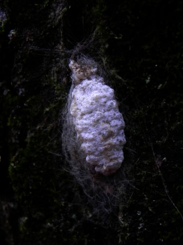 A blob on a tree leads to tales of flightless moths and flying caterpillars in our local forests. Photo by Jeff Tome