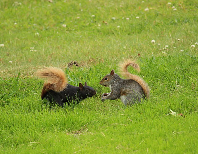 Black Squirrels are melanistic Gray Squirrels. Melanism is a condition of having more color in the fur than normal. Point Gratiot in Dunkirk has black squirrels with orange tails.
