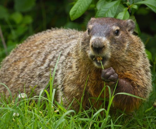 Woodchucks begin entering deep hibernation in late September or October, after gorging on clover, grasses, and other vegetation all summer long and laying on a thick layer of fat to sustain them through winter. Photo courtesy National Park Service, nps.gov