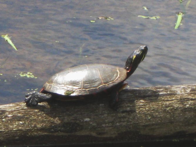 A painted turtle is pictured on a log.  Photo courtesy Audubon Community Nature Center archives