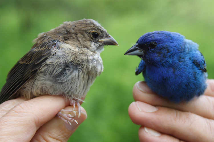 One way to learn how to identify an Indigo Bunting is during bird banding. This photo of a young bunting and a mature buntings. Photo by Jennifer Schlick