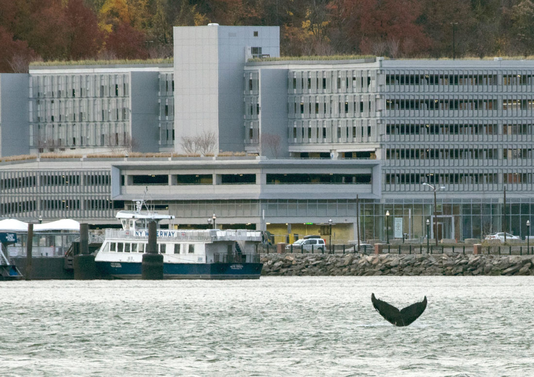In this Nov. 20, 2016 photo, a humpback whale pops up in the waters between 48th Street and 60th Street as seen from New York City, with New Jersey visible in the background. For nearly a week, a humpback whale has been cavorting in the Hudson River just off the wharves of Manhattan. Sightings have been reported from the Statue of Liberty to well north of the George Washington Bridge. (AP Photo/Craig Ruttle)