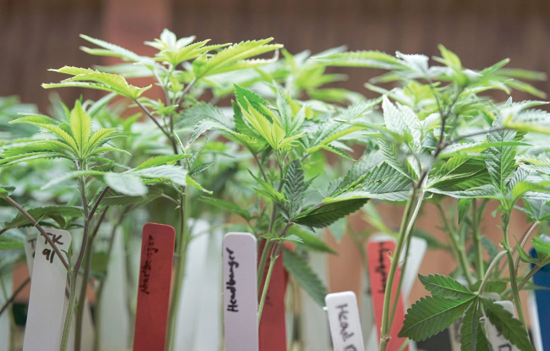 This April 15, 2017 file photo shows marijuana plants for sale at the ShowGrow dispensary a medical marijuana provider in downtown Los Angeles. (AP Photo/Richard Vogel,File)
