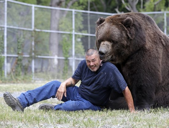 In this Wednesday, Sept. 7, 2016 photo, Jim Kowalczik plays with Jimbo, a 1500-pound Kodiak bear, at the Orphaned Wildlife Center in Otisville, N.Y. (AP Photo/Mike Groll)