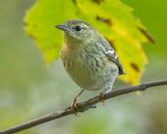 PHOTO COURTESY OF Alejandra Lewandowski The photographer spotted this blackpoll warbler on the South Williamsport side of the Susquehanna River Walk on Oct. 13.