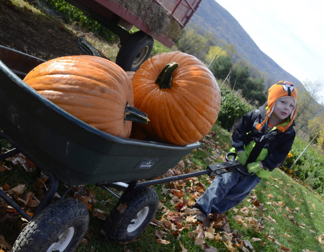 RALPH WILSON/Sun-Gazette Correspondent Jameson Hartle pulls a wagon load of pumpkins at Carpenter's Pumpkin Patch in Linden on Wednesday. The Hartles were visiting the patch with a group from Lycoming Nursery School.