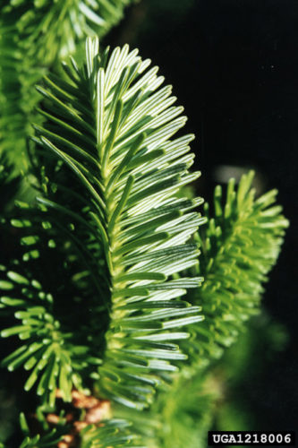 PHOTO COURTESY OF Bill Cook, Michigan State University, Bugwood.org  Above is a closeup of the two-tone needles of the Fraser fir.